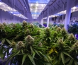 Millions Missing After Marijuana Ponzi Scheme Implodes