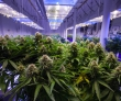 The Cannabis Culling Has Wall Street Disappointed